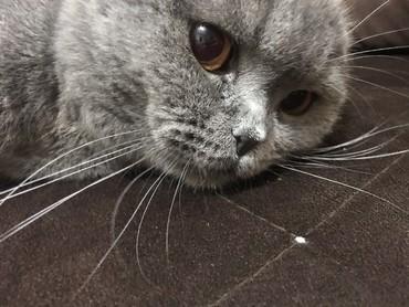 японская порода кошек в Кыргызстан: Вязка кошек.  Чистокровный шотландский вислоухий ( скоттиш фолд) ищет