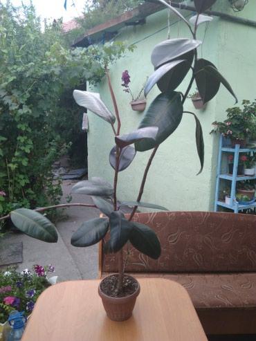 Продаю комнатный цветок, фикус( черный принц) в Бишкек