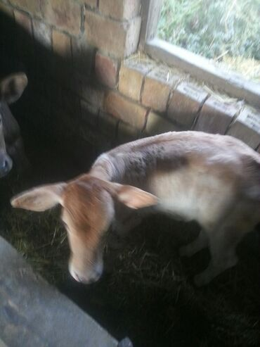 31 10 волга в Ак-Джол: Продаю теленка месяц и 10 дней мама сементалка