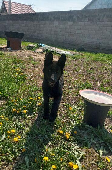Срочно продаётся Родословный щенок Немецкая овчарка окрас черный