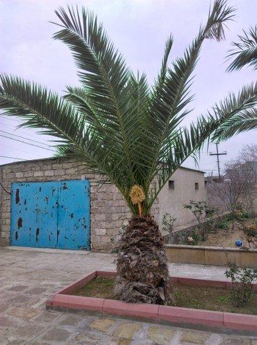Bakı şəhərində Palma ağaci 3 denedir 12 illik ağaclardi