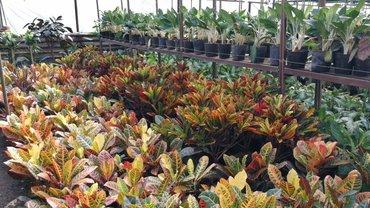 Комнатные растения .  +998902532405 ватсап есть в Бишкек