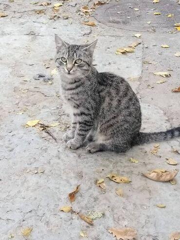 Коты - Кыргызстан: Друзья, посмотрите какой красавец, молоденький, здоровенький котик жив