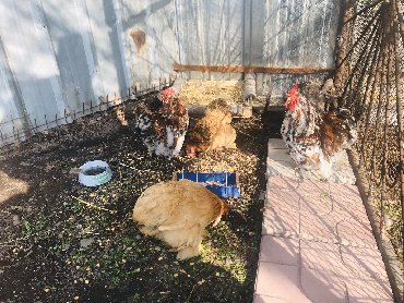 Продаю карликовых кохинхинов 2 петух и 2 курицы уже несутся