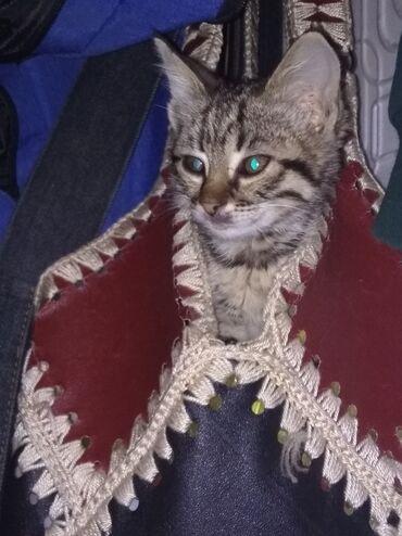 Находки, отдам даром - Ош: Отдам котёнка девочка в хорошие руки, к лотку приучеа