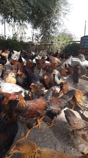 skidki na futbolki в Кыргызстан: Продаю домашних цыплят. возраст 4 месяцев, желательно оптом, на прода