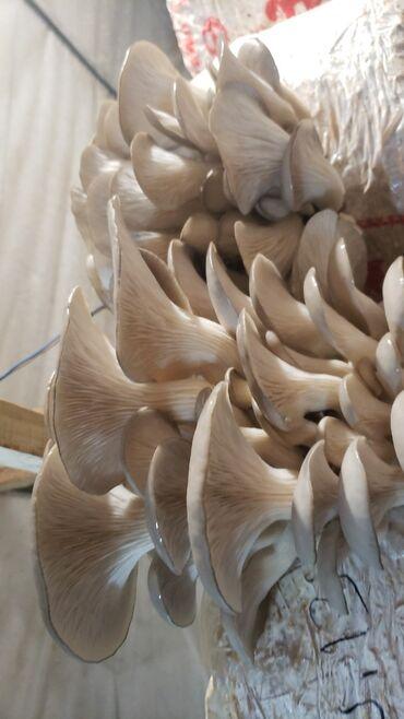 продам патефон в Кыргызстан: Продам грибные блоки вешенки