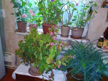 Цветы домашние ... цена от 500до 1000сом  в Бишкек