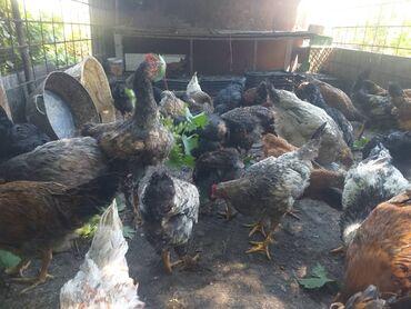 Животные - Аламедин (ГЭС-2): Продаю цыплят по три с половиной месяца. привиты, пропоины.цыплята
