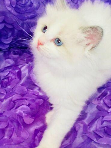 Pure Ragdoll Kittens 1 Blue BicolourΣκουπίδια 4 γατάκια Ragdoll 1