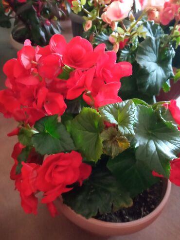 Комнатные растения - Кыргызстан: Цветы на 8 марта  Бегонии в ассортименте