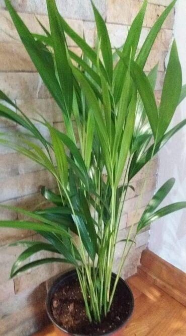 Zenska torbica sirine cm visine cm - Srbija: Areca palma visine 65 cm