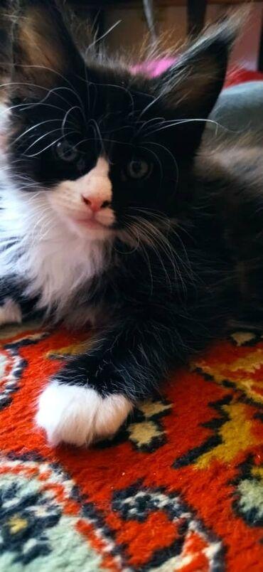 Котята чистокровной породы Мейн Кун.В любимчики!Родились