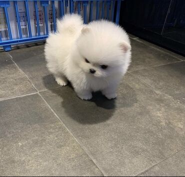 Pomeranian Puppies These adorable Pomeranian pups are ready to find
