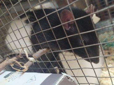 Крысы в Кыргызстан: Продам ручную крысу. Самец, шустрый, активный. Остальные вопросы по