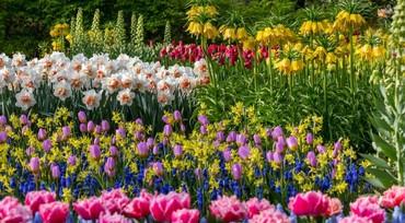 1492 объявлений: Луковицы!!! Продаем нарцисы, тюльпаны,лилии, рябчики, крокусы