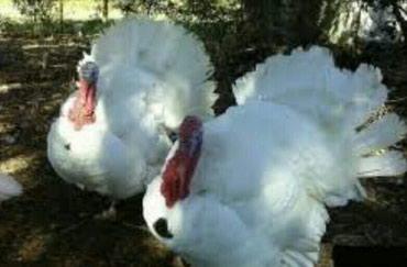 Xırdalan şəhərində Hindqusu  (индук белый ) kanada sortu, 18, 25 kq,Ola bilir