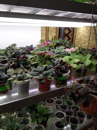 увлажнитель воздуха бишкек in Кыргызстан | ДРУГИЕ КОМНАТНЫЕ РАСТЕНИЯ: Продаю комнатные цветы не дорого: фиалки, эписсции, кипарис
