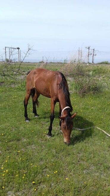 acura mdx 35 at - Azərbaycan: At 5 yaşındadı yaxşı yorğası var
