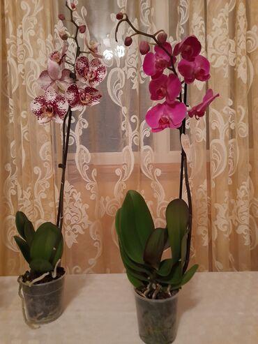 11 объявлений: Комнатные цветы в наличий,Иссык куль, Корумду