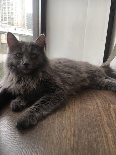 Коты - Азербайджан: Продаем кота (мальчика) связи с переездомВсе прививки сделалиПо