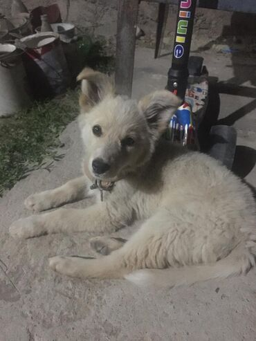 Срочно ищем дом для милого щенка, девочка, смышленная и уже хорошо охр