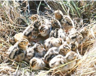 Фазаны цыплята в Бишкек