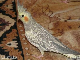 Попугаи кареллы в Кок-Ой