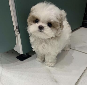 Adorable Mini, Toy Cavapoo, Cockapoo, Maltese, Pomeranian, poodle