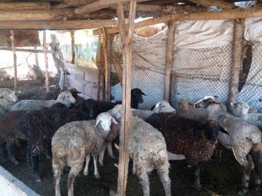 Эчки,козу,улак,кой семиз  .не писать  только звонить  ,  в Бишкек