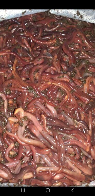 Животные - Араван: Калифорния Кызыл соолжандары сатылат  Ватсап номер