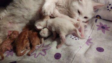 Коты - Азербайджан: Котята в добрые руки