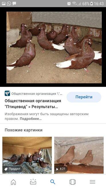 купить gamesir x1 в Кыргызстан: Куплю Николаевских голубей