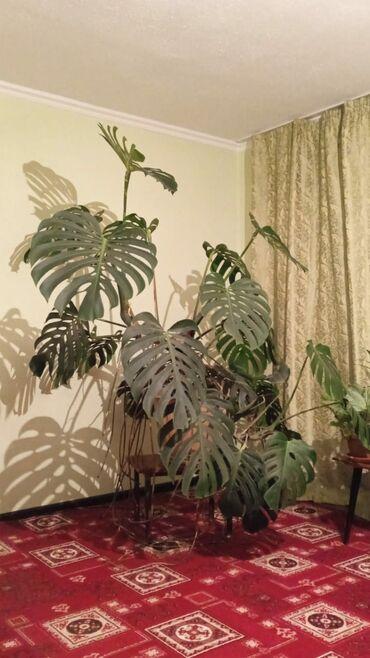 187 объявлений: Монстера, комнатное растение