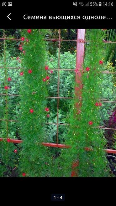 утрожестан 200 цена бишкек в Кыргызстан: Семена вьющихся цветов Квамоклит перистый и бордюрных цветов Бархатцы