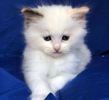 Γατάκια Ragdoll έτοιμα προς πώλησηΈχουμε τόσο αρσενικά όσο και θηλυκά