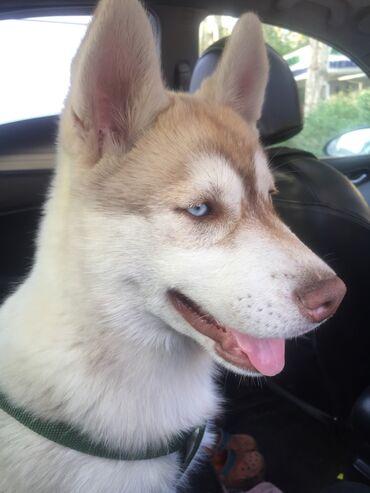 Пропала собака, породы хаски. Возраст 6 мес. Сучка. Пропала 19 мая с 1
