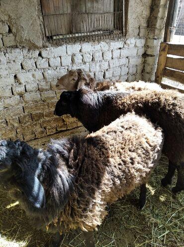 Бараны, овцы - Вид: Баран (самец) - Бишкек: Продаю   Баран (самец)   Эдильбаевская   Для разведения   Племенные
