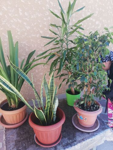 Продаются цветы офисные или для хола большие с горшком. Цена