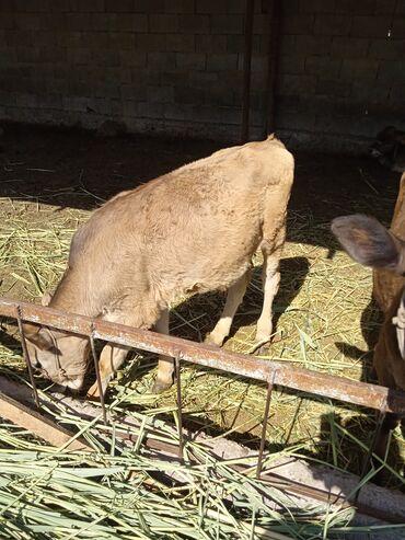 Животные - Чалдавар: Продаю бычка 5 месяцев прошу