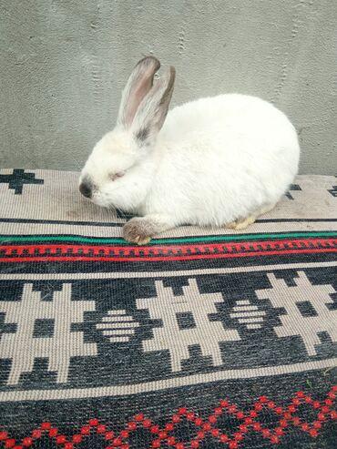 Декоративные кролики - Кыргызстан: Продается евро калиф 2.5 месяц самец на племя( кролик породы