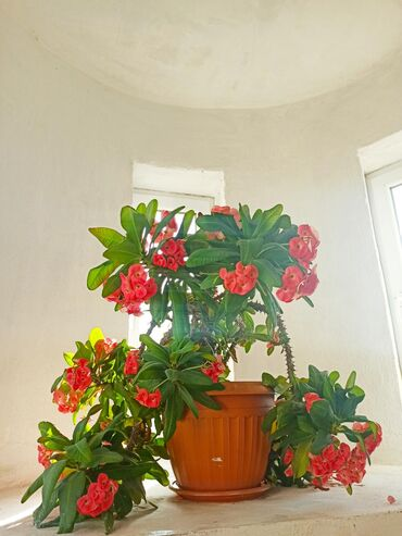 Мала чай 6 летний прекрасна цветёт очень очень большой. Самовывоз. Ест