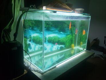 pirani baliqlari - Azərbaycan: Akvarium ve diskus baliqlari bio filteraksesuarlari