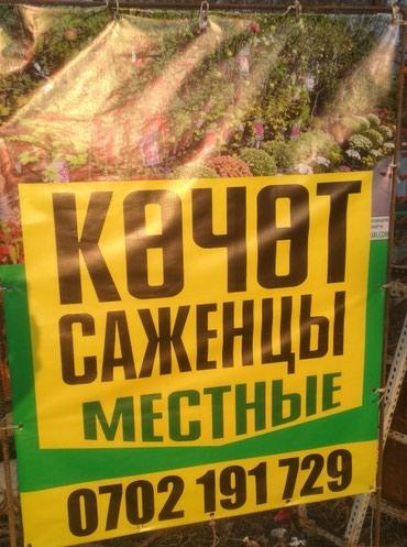 КОЧОТ: САЖЕНЦЫ местные, Золотой Грин, в Бишкек