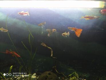 Г.ОШ продается аквариум на 60л комплект сом всем оборудованием рыбы,жи