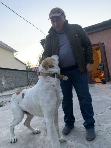 сколько стоит йоркширский терьер в Кыргызстан: Кабель для вязки. Чистопородный алабай, 3.5 года, здоров, стоит на уче