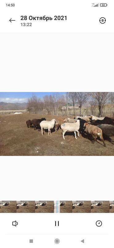 умут и ко вакансии in Кыргызстан | ПРОДАЖА ДОМОВ: Продаю | Овца (самка) | Для разведения