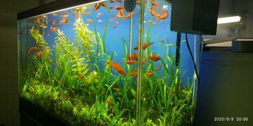 pirani baliqlari - Azərbaycan: Akvarium baliqlari ile birlikde satilir.450 azn.su filteride var.unvan