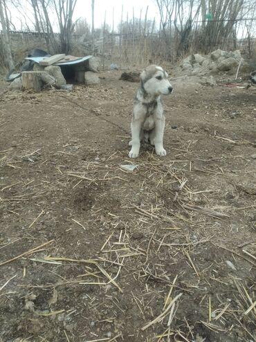 Животные - Ат-Башы: Алабай сатылат 8 айлык кыраан эркек Бою чон срочна срочна