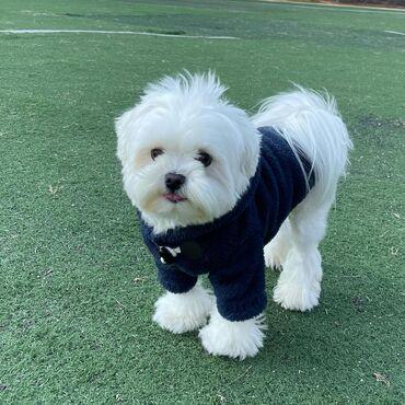 Αντικείμενα και Αξεσουάρ για κατοικίδια ζώα - Ελλαδα: Two Top Class Maltese Puppies Available  These gorgeous T-Cup Maltese